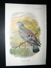 Allen 1890's Antique Bird Print. Stock Dove